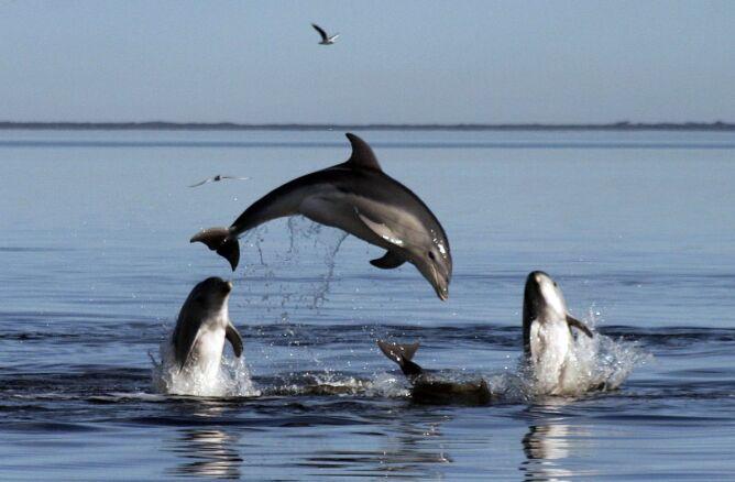"""""""Duża ryba morska przypominająca delfina"""""""