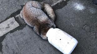 """Lis szukał jedzenia, zaklinował się w pojemniku. """"To coraz większy problem"""""""