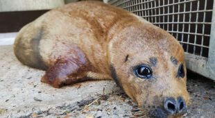 W Wielkiej Brytanii pies zaatakował fokę